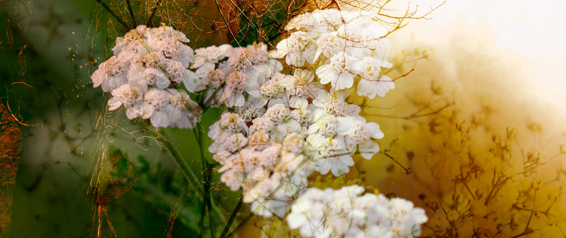White Yarrow Flowers amidst Brush and Twigs
